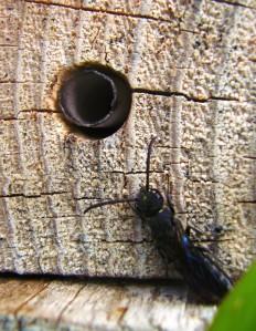 fig-5-sapyga-lurking-close-up