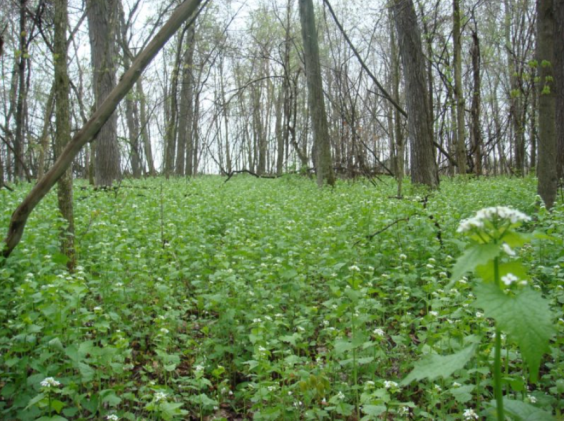 garlic mustard field