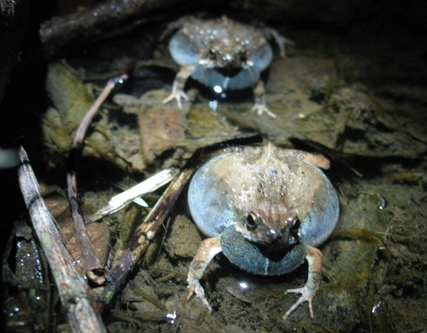 male-tungara-frogs-calling.jpg