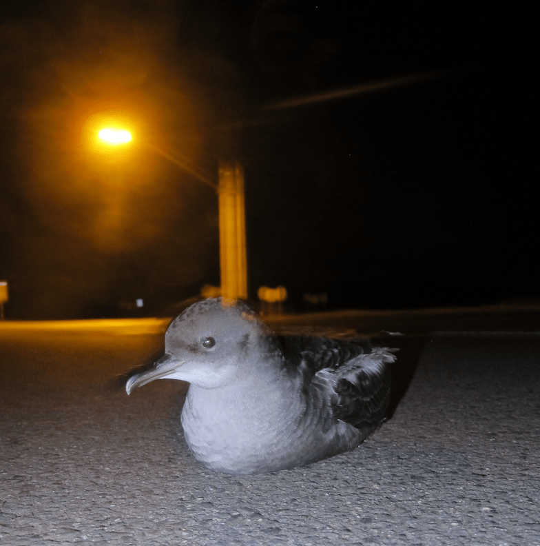 short-tailed-shearwater-fledgling-grounded-by-lights-photo-airam-rodrc3adguez.png