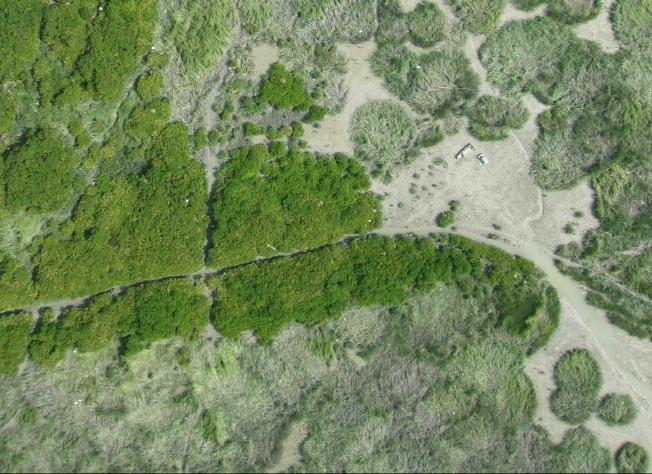 mangrove-Spartina ecotone