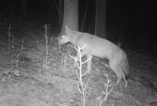 coyote-camera-trap.jpg