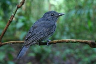 Alarm calling species Thamnomanes ardesiacus Photo cred E. Parra 600dpi (1)