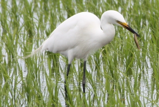 ardea intermedia (intermediate egret). photo by n. katayama