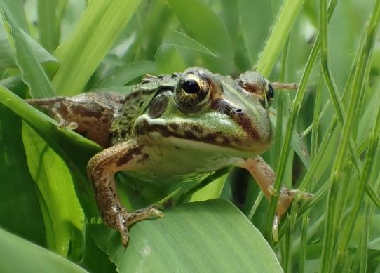 rana-porosa-porosa-tokyo-daruma-pond-frog.-photo-by-y.g.-baba.jpg