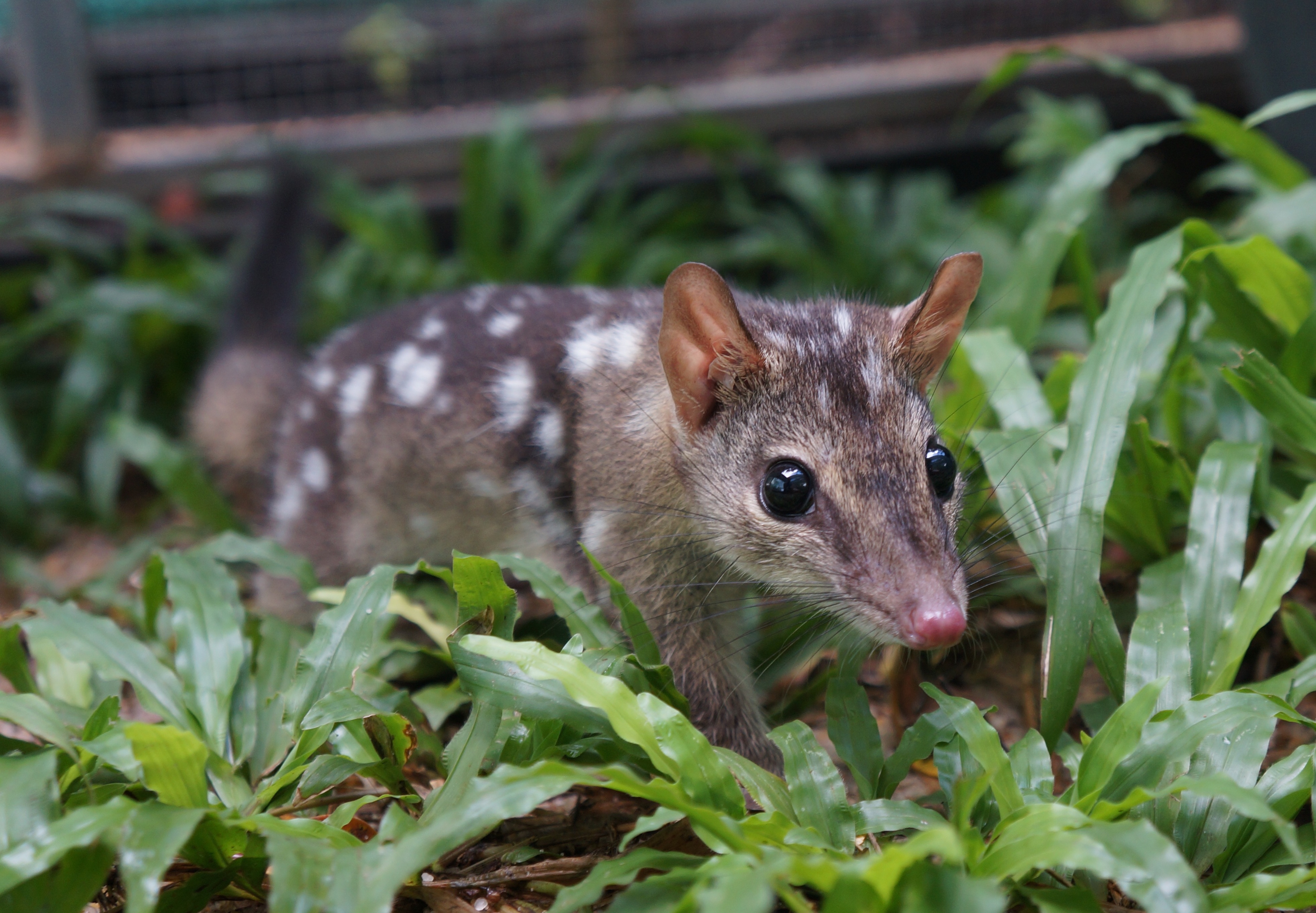 Male captive born northern quoll_EllaKelly