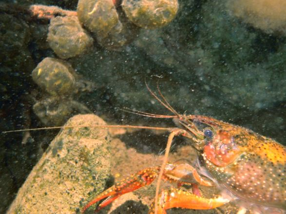 crayfish, egg masses, clutches