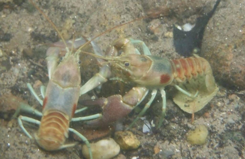 rusty_crayfish