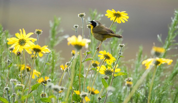 COYE common yellowthroat simple